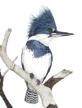 Belted Kingfisher (detail) by Stephen Welch- a bird